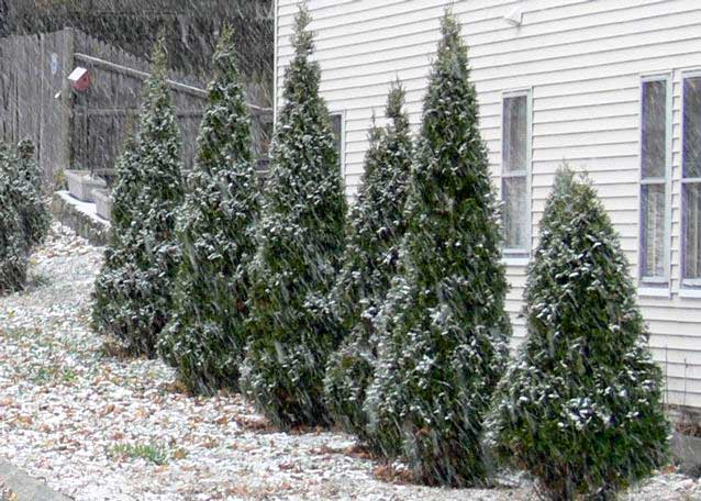 1st-snowtrees.jpg